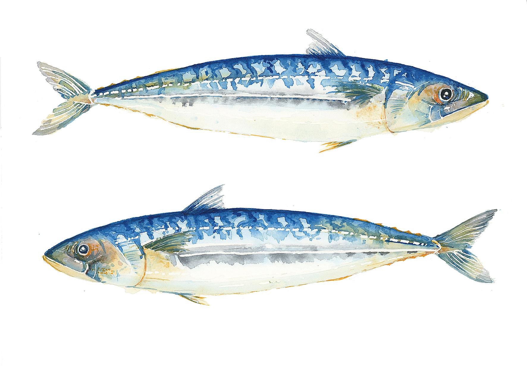 mackerel-fish